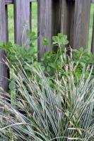 Grass & Perennial Pea